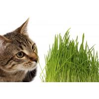 Herbe à chats